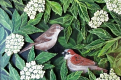 Sparrows-in-elderflower